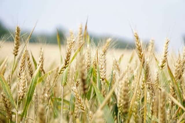 wheat in farm - gluten free